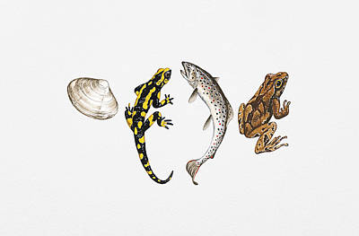 Salamanders Digital Art - Illustration Of Sea Shell, Salamander, Salmon And Frog by Dorling Kindersley