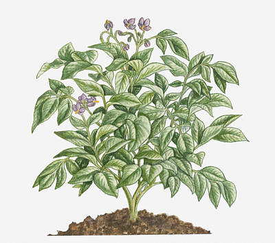 Potato Digital Art - Illustration Of Solanum Tuberosum (potato) Bearing Purple Flowers With Yellow Stamen And Green Leaves by Dorling Kindersley
