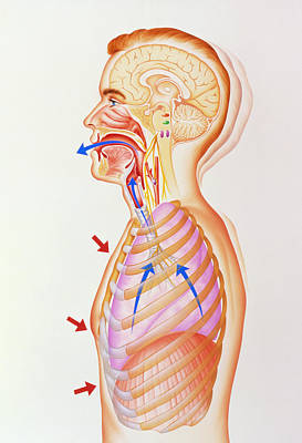 Illustration Of The Exhalation Phase Of Coughing Print by John Bavosi