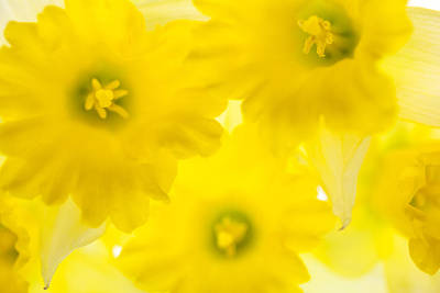 Narzisse Photograph - Impression Of Daffodils by Brad Rickerby
