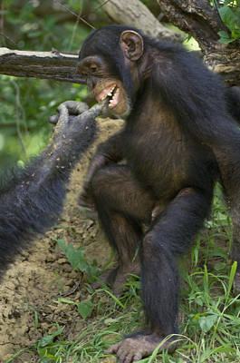 Senegal Photograph - In A Gesture Of Reassurance, A Chimp by Frans Lanting