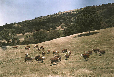 Pleasanton Photograph - In A Pasture Near Pleasanton Hereford by Charles Martin