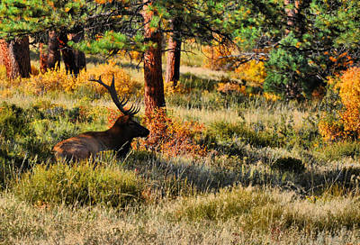Elk Photograph - In Wait by Emily Stauring