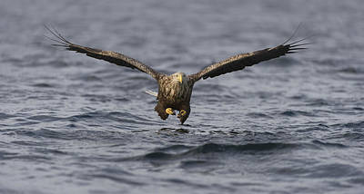 Eagle Photograph - Incoming by Andy Astbury