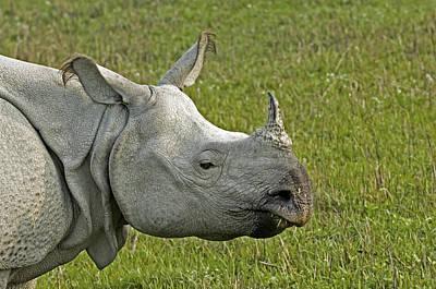 Indian Rhinoceros Print by Tony Camacho