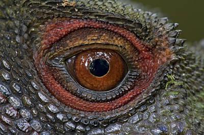 Piotr Naskrecki Photograph - Indonesian Forest Dragon Eye Papua New by Piotr Naskrecki