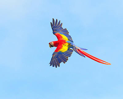 Macaw Photograph - Into The Blue by Tony Beck