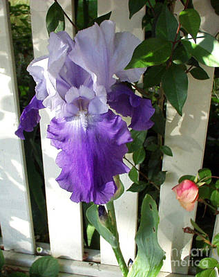 Irises Fenced In  Print by The Kepharts