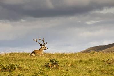 Islay Photograph - Island Of Islay, Scotland Buck Resting by John Short