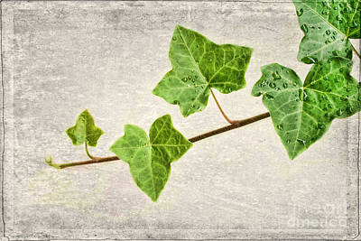 Ivy Print by Darren Fisher