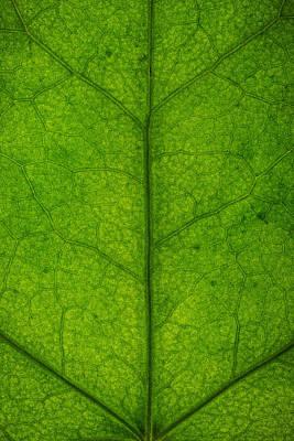 Ivy Leaf Print by Steve Gadomski