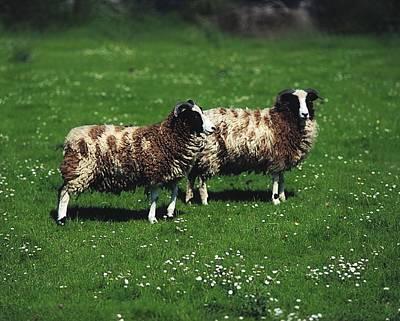 Jacob Sheep Print by The Irish Image Collection