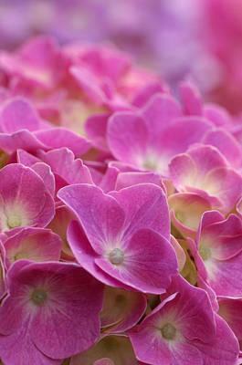 Japan, Kanagawa Prefecture, Sagamihara City, Close-up Of Pink Flowers Print by Imagewerks