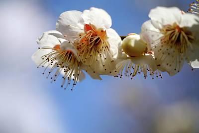 Japanese Plum Flowers Print by T. Kurachi