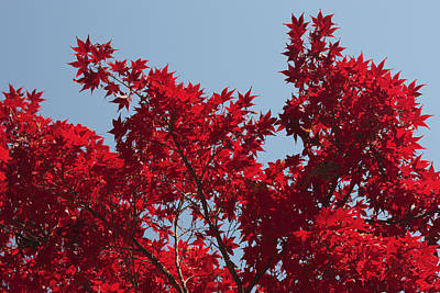 Japanese Red Maple In Flaming Autumn Print by George Grall