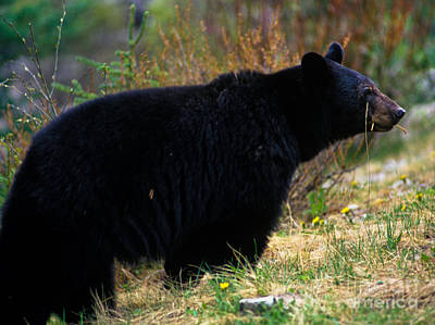 Wildlife Photograph - Jasper - Black Bear by Terry Elniski