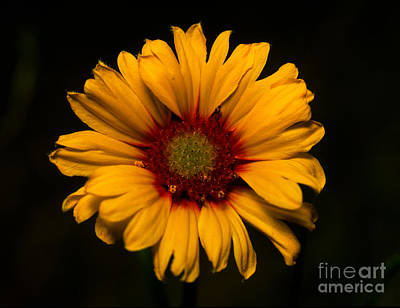 Canadian Rockies Photograph - Jasper - Brown-eyed Susan by Terry Elniski