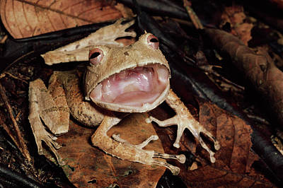 Johnsons Horned Treefrog Hemiphractus Print by Michael & Patricia Fogden