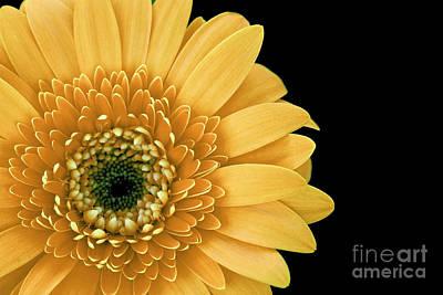 Joyful Delight Gerber Daisy Print by Inspired Nature Photography Fine Art Photography