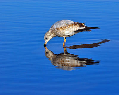 Larus Delawarensis Photograph - Juvenile Ring-billed Gull  by Tony Beck