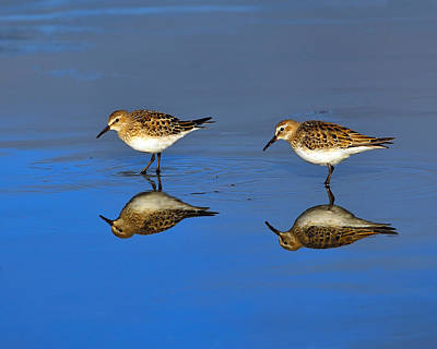 Juvenile White-rumped Sandpipers Print by Tony Beck