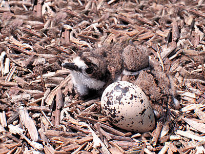 Baby Bird Photograph - Killdeer Babies by Angie Rea
