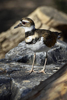 Killdeer Photograph - Killdeer by Saija  Lehtonen