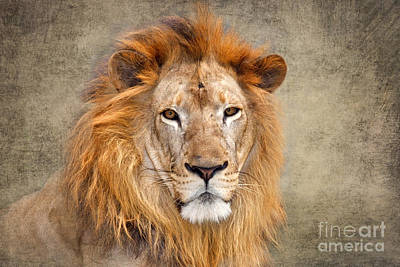 Gir Photograph - King Of Beasts Portrait Of A Lion by Louise Heusinkveld