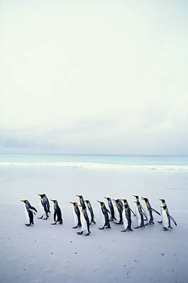 King Penguins (aptenodytes Patagonicus) Falkland Islands Print by Kim Heacox