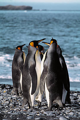 Antartica Photograph - King Penguins by Peter Scoones