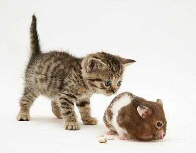 Kitten And Hamster Print by Jane Burton
