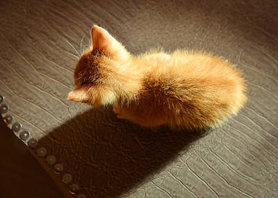 Y120817 Photograph - Kitten In Light by Yellow