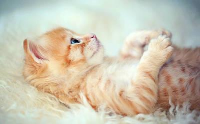 Kitten Lying On Its Back Print by Susan.k.