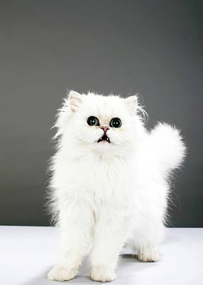 Kitten Portrait Print by Martin Poole