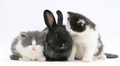 Kittens With Black Lionhead-cross Rabbit Print by Mark Taylor