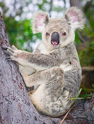 Koala  Print by Johan Larson