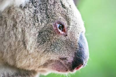 Koala Profile Portrait Print by Johan Larson