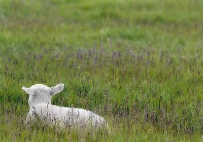 Lamb In Pasture, Alberta, Canada Print by Darwin Wiggett