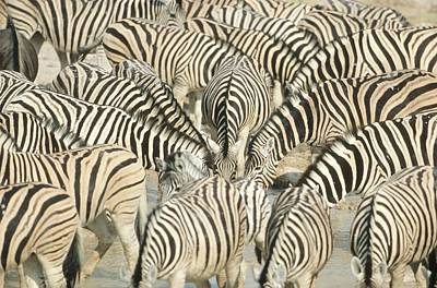 Of Zebra Grazing Photograph - Large Group Of Zebra (equus Burchelli) At Waterhole - Full Frame by Richard du Toit