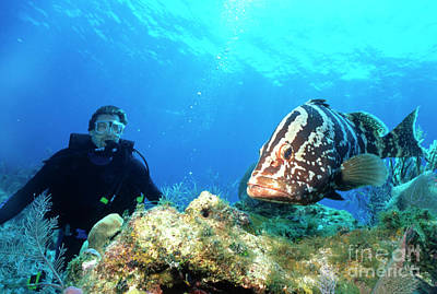 Large Grouper And Scuba Diver, Cayman Print by Beverly Factor