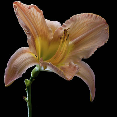 Last Day Lily Flower Print by Ian Grainger
