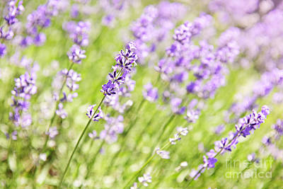 Lavender Blooming In A Garden Print by Elena Elisseeva