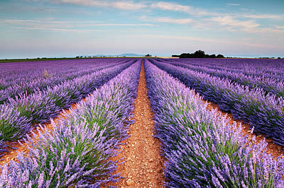 Lavender Field In Blossom Print by Matteo Colombo
