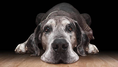 Great Dane Photograph - Lazy by Marc Huebner