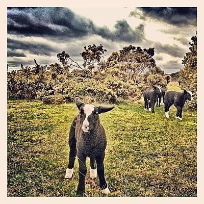 Sheep Photograph - Leader Of The Gang! #sheep #lamb #lambs by Robert Campbell