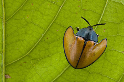 Piotr Naskrecki Photograph - Leaf Beetle  In Rainforest Paramaribo by Piotr Naskrecki