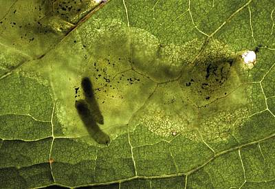 Eating Entomology Photograph - Leaf Miners In A Dock Leaf by Vaughan Fleming