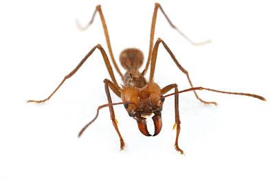 Piotr Naskrecki Photograph - Leafcutter Ant Worker Costa Rica by Piotr Naskrecki