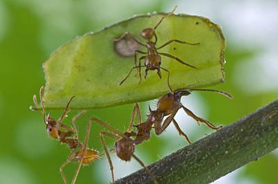 Piotr Naskrecki Photograph - Leafcutter Ants Costa Rica by Piotr Naskrecki