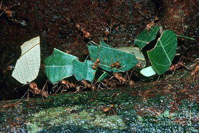 Ant Photograph - Leafcutter Ants by Gregory G. Dimijian
